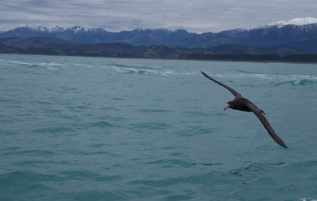 09-2015 Albatross Encounter - 4 of 17